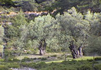 מעולה עץ / עצי הדר עץ הדר בוגרים מחיר מחלות ננסיים טיפול להסקה למכירה EC-67