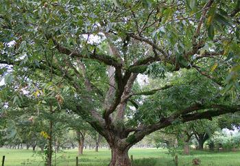 ענק עץ / עצי פרי הדר / למכירה / מחירים / נשירים / ננסיים / מומלצים LG-71